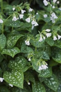 Vitblommande fläckig lungört, Pulmonaria officinalis, Årets Perenn 2008