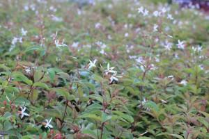 Trebladspira, Gillenia trifoliata