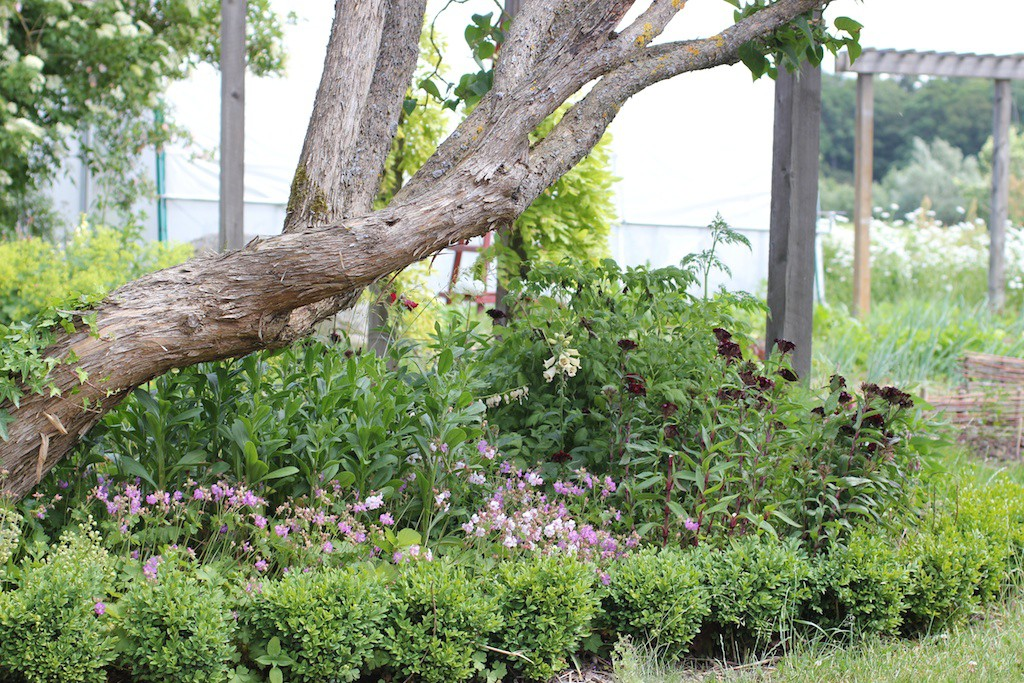 Inslag av formklippt buxbom ger kontrast till de vida, vilda perennerna