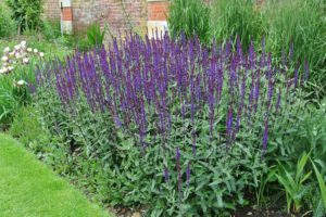 Stäppsalvia, Salvia Nemorosa-Gr.