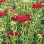 Röllika, Achillea millefolium 'Red Velvet'