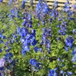 Trädgårdsriddarsporre, Delphinium 'Blue Bird'