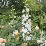 Trädgårdsriddarsporre, Delphinium 'Galahad'