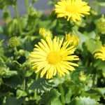 Vårkrage, Doronicum 'Little Leo'