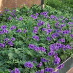 Kungsnäva, Geranium magnificum