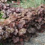 Rödbladig alunrot, Heuchera villosa 'Palace Purple'