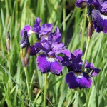 Strandiris, Iris 'Shirley Pope'