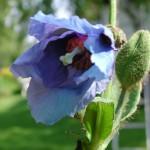 Blå bergvallmo, Meconopsis betonicifolia
