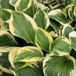Funkia, Hosta 'Twilight'