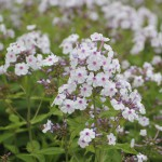 Phlox paniculata &#039;Ingeborg fran Nybro&#039;