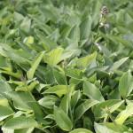 Blomsterfunkia - Hosta fortunei 'Hyacinthina'
