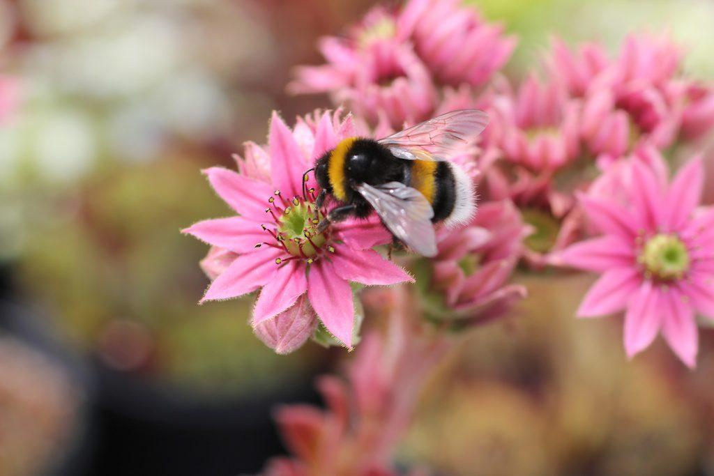 Humlor gillar blommor! Och hjälper oss att få större skörd av bär och frukt. Genom att välja perenner som humlorna tycker om lockar man dem till sin trädgård. Humlor är fredliga men försvarar sig om det blir uppretade.