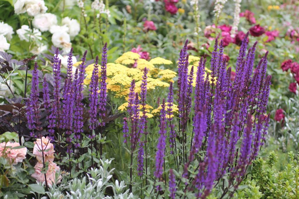 Stäppsalvia, Salvia nemorosa, Salvia
