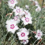 Press - Dianthus plumarius 'Marieberg'