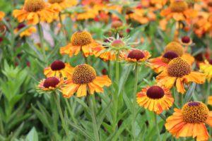 Här finns bilder och växtinfo om ett urval av nyheter bland perenner 2017. Publicerat 20160915.
