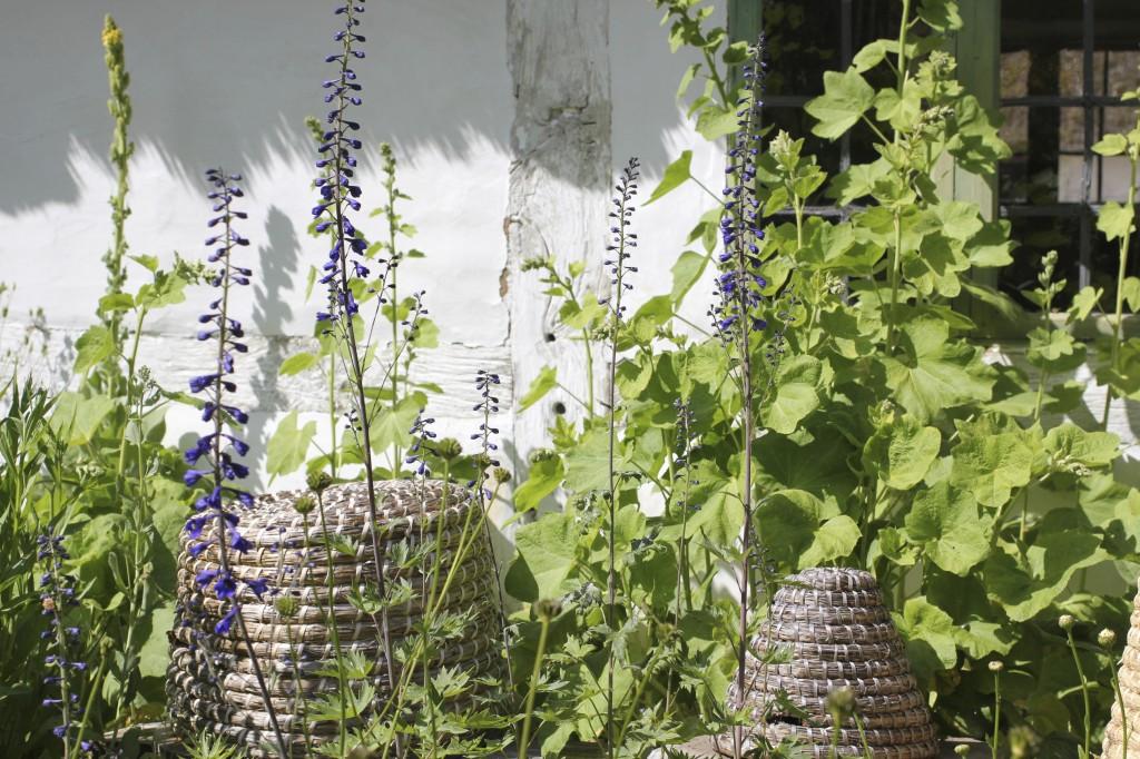 Riddarsporre ger ett sirligare intryck innan den hunnit slå ut i sin fulla blomprakt.