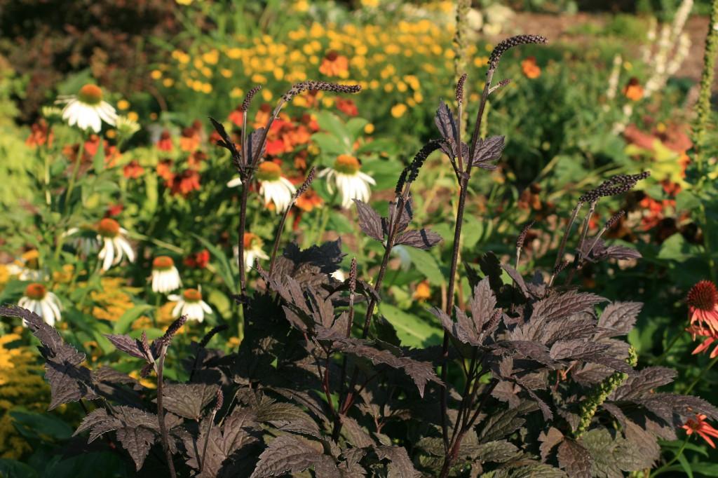 Växtporträtt om höstsilverax, Actaea simplex 'Brunette', en mörkbladig perenn