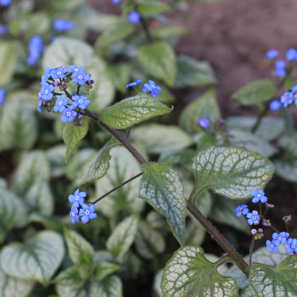 De små djupblå blommorna kommer redan i mitten av april, vilket är tidigare än den rena arten, och blommar ända in i juni.