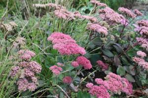 Hylotelephium 'Herbstfreude' och Sesleria autumnalis