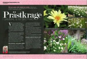 Växtporträtt om prästkrage, midsommar, artikel i tidskriften landskap