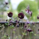 Akleja - Aquilegia vulgaris stellata 'Black Barlow'