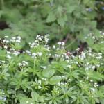 Myskmadra - Galium odoratum