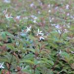 Trebladspira - Gillenia trifoliata
