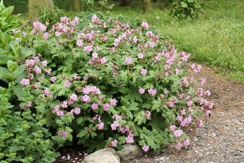 Geranium macr. 'Ingwersen's Variety'