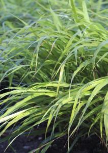 Växtporträtt primula Hakonechloa macra
