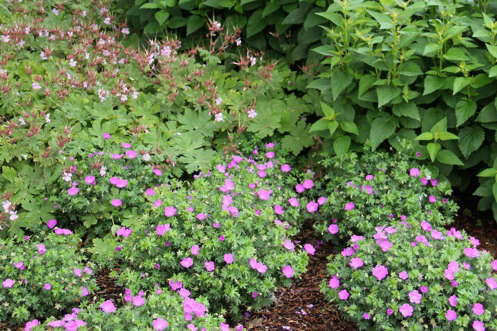 Blodnäva, Geranium sanguineum 'Max Frei', i framkant bilder runda kuddar och när den växer ihop täcker den marken fint.