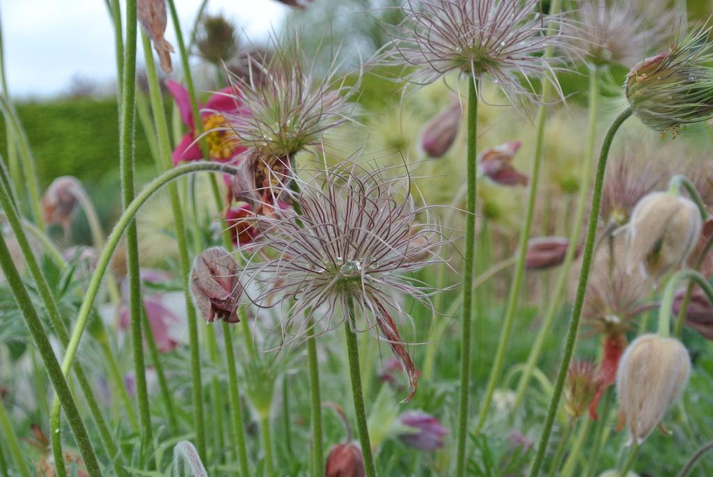 Växtporträtt backsippa pulsatilla vulgaris