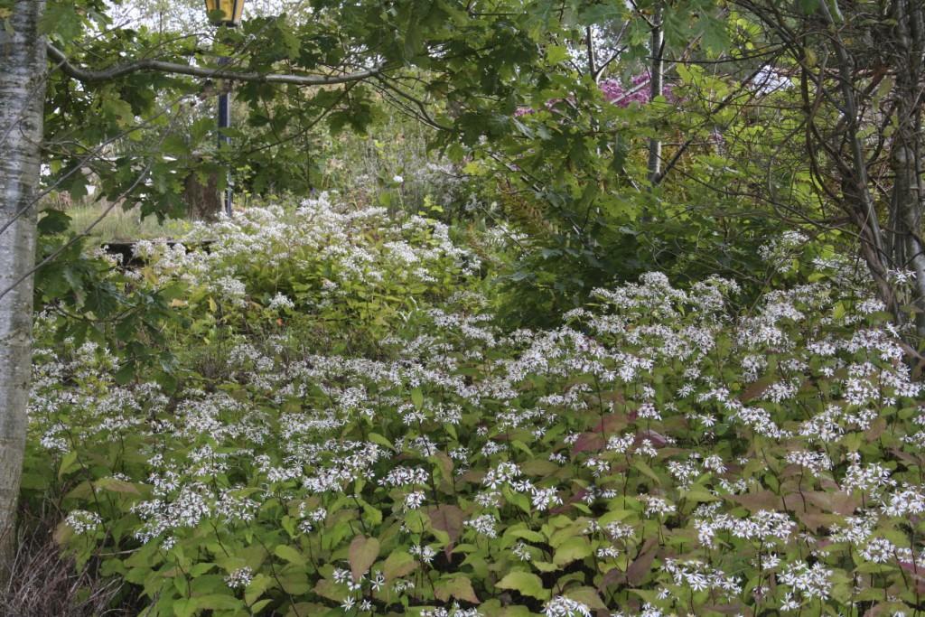 Den vita skogsastern växer vild i lövskogar och längs vägrenar i östra Nordamerika, från Maine och Quebec till Minnesota, Georgia och Alabama.