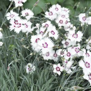 Dianthus 'Marieberg'