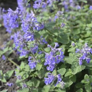 Nepeta racemosa 'Linghem'