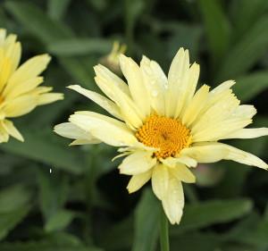 Leucanthemum superbum BROADWAY LIGHTS 'Leumayel' har en unik färg som skiftar från cintrongul knopp till allt ljusare vaniljgul och slutligen helt vit.