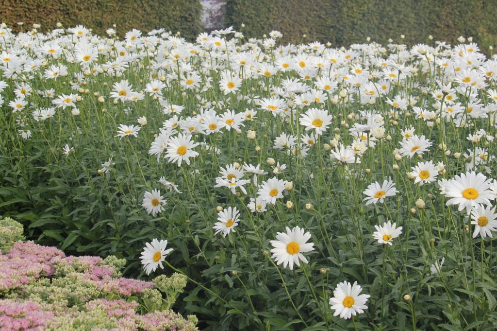 Leucanthemum x superbum 'Bröllopsgåvan' har upp till 10 cm stora blommor som blommar rikligt hela sommaren och långt in på hösten. Här ses den tillsammans med Hylotelephium spectabile 'Granlunda' som är en annan svensk historisk perenn.