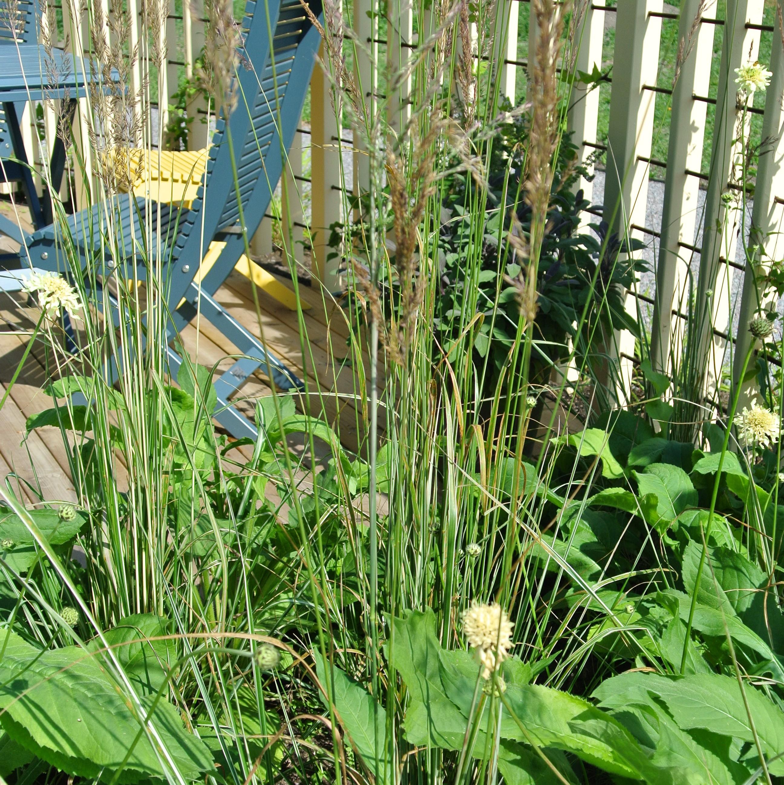 I den Enkla Trädgården på Slottsträdgården Ulriksdal som ska vara skötselfri så långt som möjligt valde man att ha med Calamagrostis acutiflora 'Overdam'.