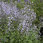 Stenkyndel - Calamintha nepeta 'Blue Cloud'