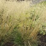 Tuvtåtel - Deschampsia cespitosa 'Goldschleier'