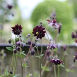 Akleja, Aquilegia vulgaris 'Black Barlow'