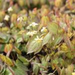 Blekgul sockblomma, Epimedium versicolor 'Sulphureum'