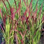 Japanskt blodgräs - Imperata cylindrica 'Red Baron'