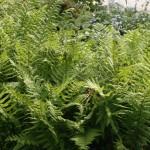 Träjon - Dryopteris filix-mas