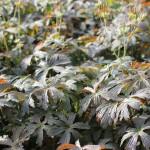 Fläcknäva, Geranium maculatum 'Espresso'