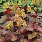 Alunrot, Heuchera Little Cuties 'Blondie'