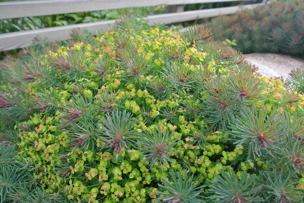 Vårtörel - Euphorbia cyparissias 'Fens Ruby'