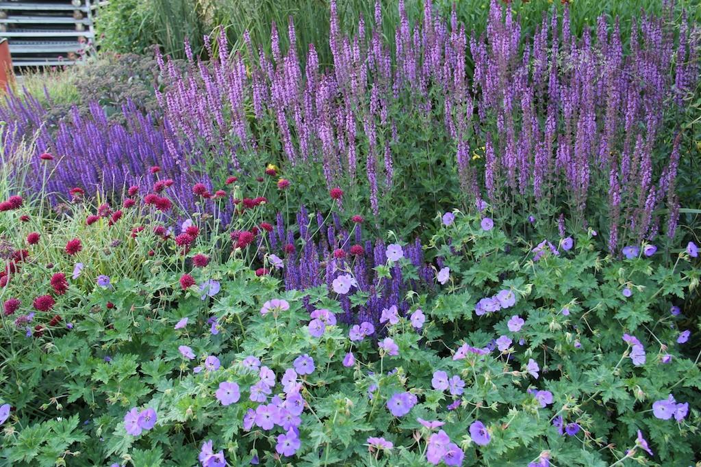 Harmonisk rabatt i violett och purpur. Avlånga och runda blommar kontrasterar mot varandra.
