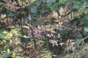 Inlägg - brunt - Actaea simplex