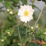 Höstanemon - Anemone hybrida 'Whirlwind'