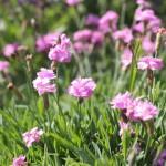 Kuddbildande - Dianthus gratianopolitanus 'Pink Jewel'